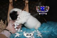 #FluffyFrenchie #FrenchBulldog #FluffyFrenchBulldog #AvailableFrenchi