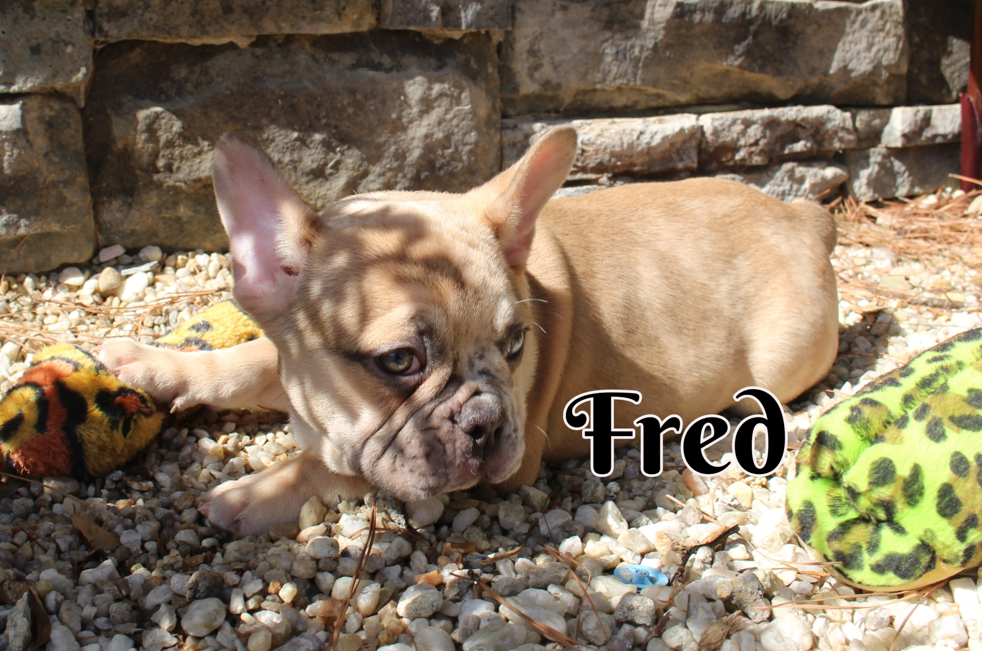 #FrenchBulldogPuppies #MerleFrenchBulldog #Frenchie #AvailablePuppies #AKCRegFrenchBulldog #SouthernTerritoryFrenchies
