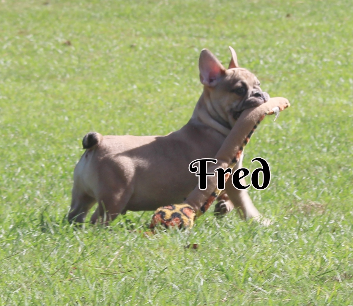 #FrenchBulldogPuppies #MerleFrenchBulldog #Frenchie #AvailablePuppies #AKCRegFrenchBulldog