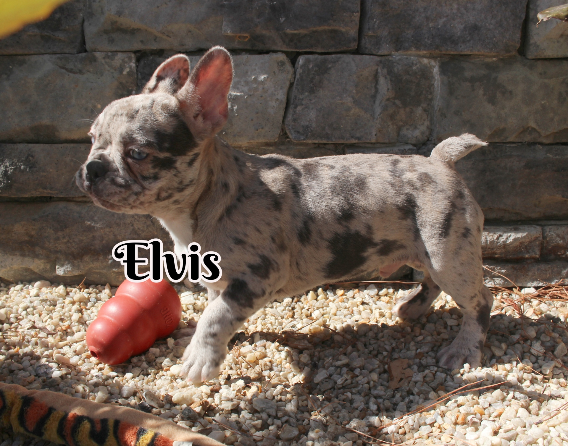 #FrenchBulldogPuppies #MerleFrenchBulldog #Frenchie #AvailablePuppies #AKCRegFrenchBulldog #SouthernTerritoryFrenchies #Elvis