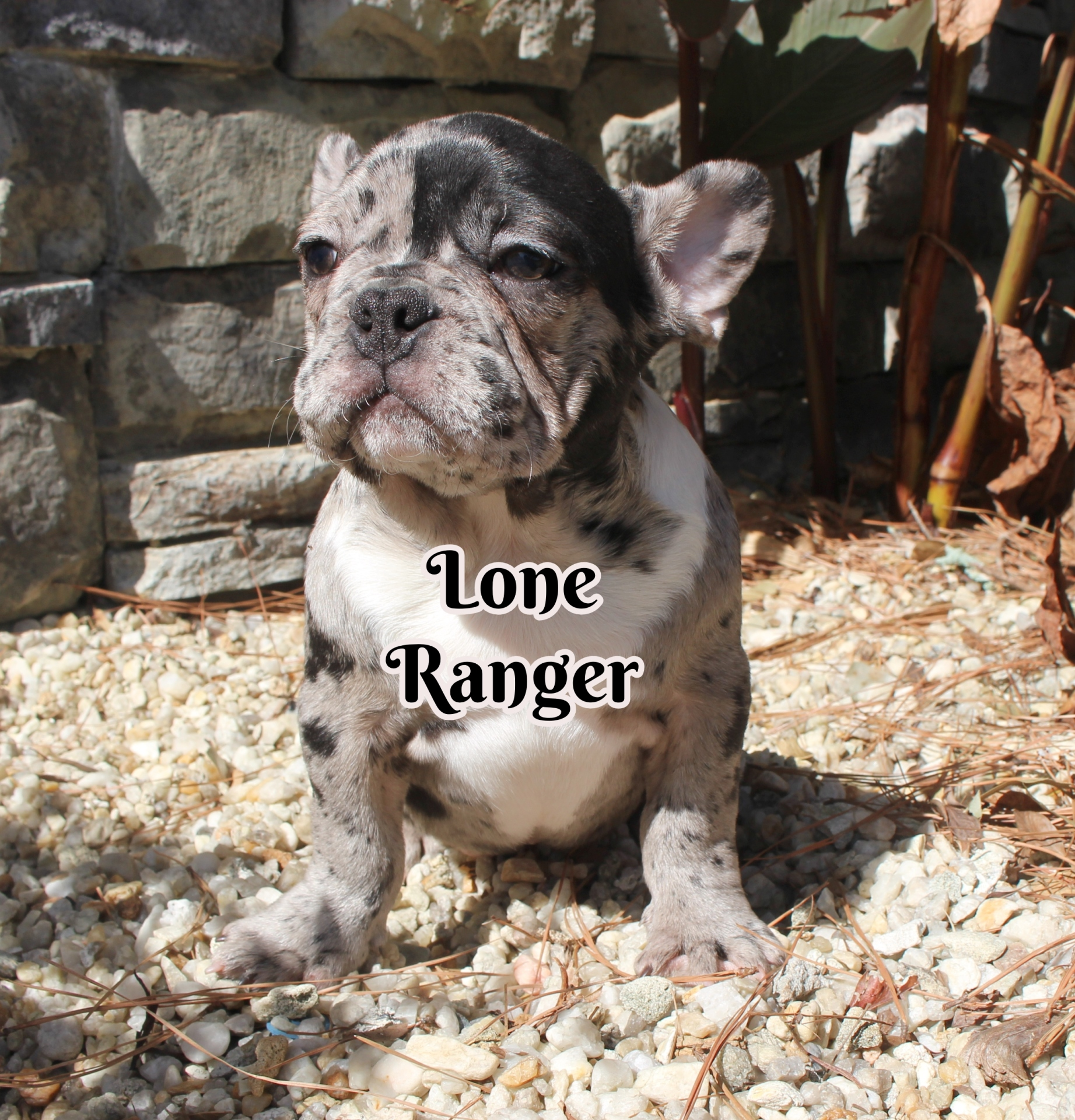 #FrenchBulldogPuppies #MerleFrenchBulldog #Frenchie #AvailablePuppies #AKCRegFrenchBulldog #SouthernTerritoryFrenchies #LoneRanger