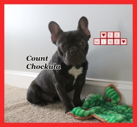 #FrenchBulldogPuppies #MerleFrenchBulldog #Frenchie #AvailablePuppies #AKCRegFrenchBulldog #SouthernTerritoryFrenchies #CountChockula